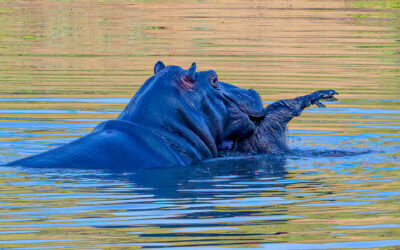 Very unique Hippo behavior. This Hippo has an Aaarvark in it's mouth, How ??? Why???? What